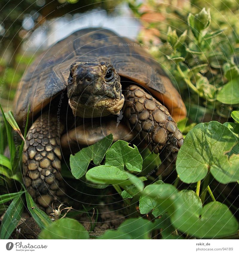 FLOCKI II. Schildkröte Treue langsam atmen Gras Landschildkröte hart Krallen Jahr Eltville Haustier wach Makroaufnahme Nahaufnahme Freude gepanzert alt