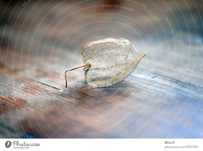 Physalis Frucht Dekoration & Verzierung Natur Herbst Kitsch Krimskrams verblüht dehydrieren Stimmung Tod Verfall Vergänglichkeit Skelett Blattadern hohl Holz