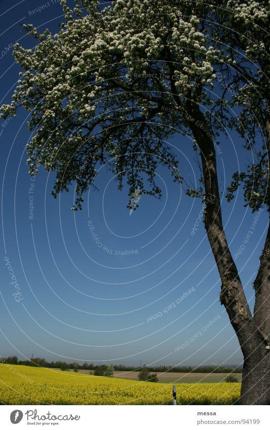gelb blau weiß Baum Raps Feld Sommer Sommerfarbe Physik Schönes Wetter wald und flur Himmel Natur Wärme Baumstamm Außenaufnahme Anschnitt