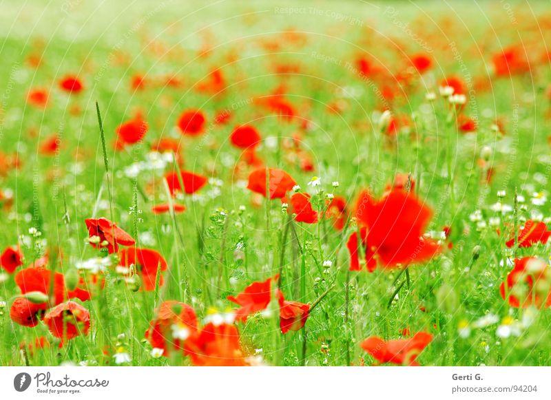 mohnboomen frisch fruchtig mehrere Klatschmohn rot zart stachelig offen grün mehrfarbig Blühend Sommer Blüte Grünpflanze Bewegungsunschärfe Mohnfeld knallig