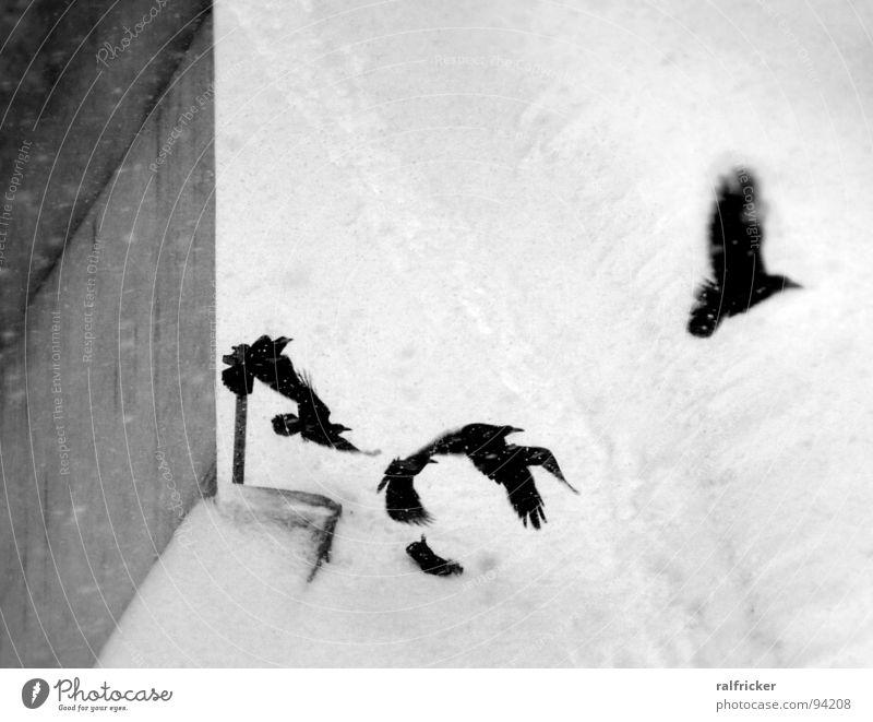 raben im schnee Rabenvögel schwarz erschrecken Abheben Schneefall Krähe trist grau Außenaufnahme Winter fliegen Luftverkehr Flucht Schwarzweißfoto
