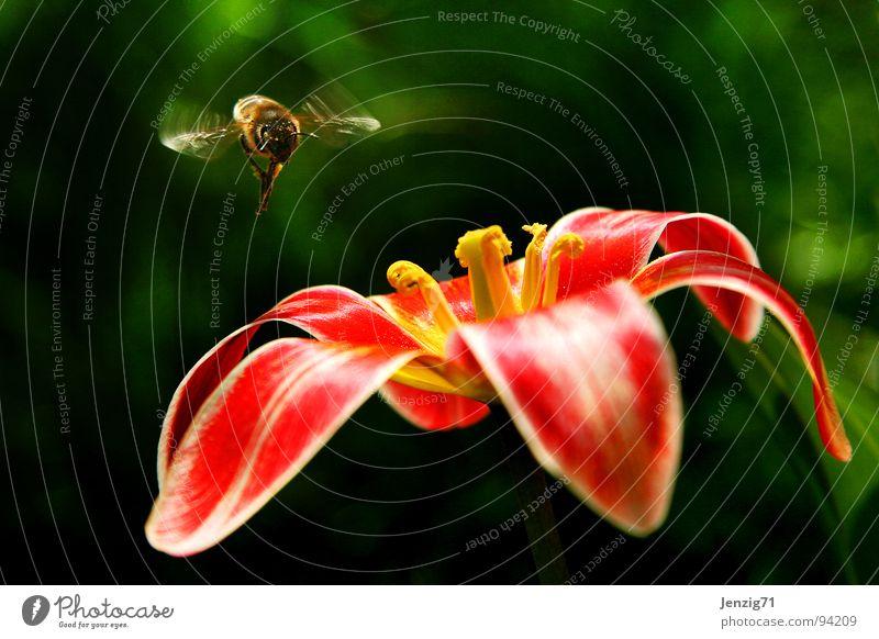 Landeanflug. Blume Blüte fliegen Insekt Blühend Biene Tulpe