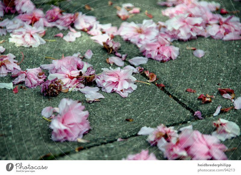 Ein Meer aus Blumen Blüte Frühling rosa Makroaufnahme Nahaufnahme Stein Perspektive Erde