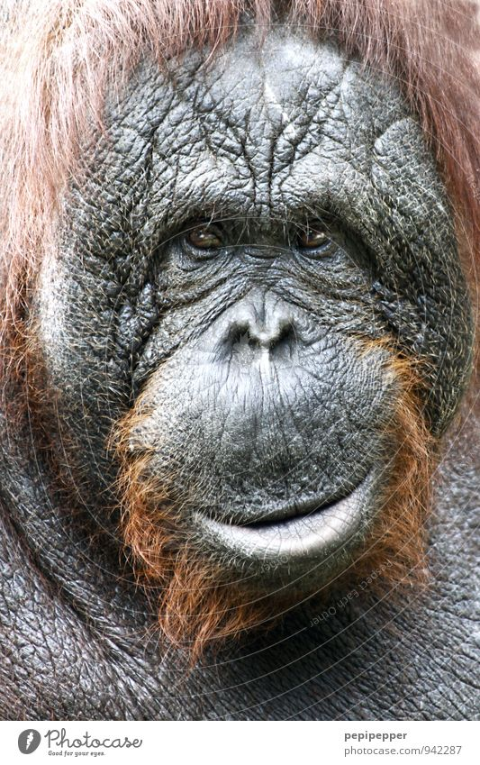 Charakter Zoo Tier Wildtier Affen Orang-Utan 1 alt beobachten Lächeln braun grau Gefühle Gelassenheit Weisheit Farbfoto Tierporträt