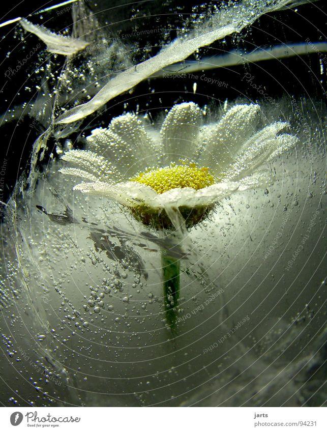 Eisblume gefroren Blume Eisblumen kalt Sommer Winter tiefgekühlt Wachstum driften stagnierend Luftblase Wasser Margaritenblume jarts Bätter Blühte Tod Leben