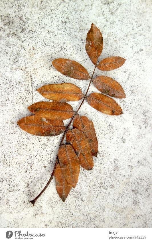 Herbstpostkarte Pflanze Dürre Blatt liegen dehydrieren dünn natürlich schön braun grau Verfall Vergänglichkeit Wandel & Veränderung Jahreszeiten 12 Trockenblume