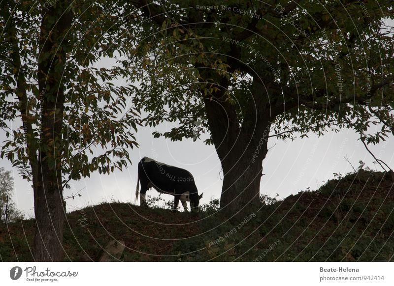 Vollmilch Fleisch Bioprodukte Natur Landschaft Pflanze Tier Himmel Herbst Wetter Baum Feld Wald Hügel Elsass Nutztier Kuh Fressen frisch Gesundheit Kraft ruhig