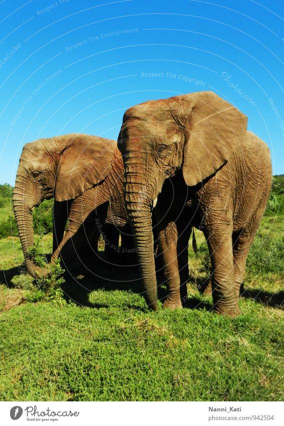 Elephants Ferien & Urlaub & Reisen blau grün ruhig Tier natürlich Gesundheit braun wild Kraft Wildtier authentisch frei Lebensfreude Abenteuer Unendlichkeit