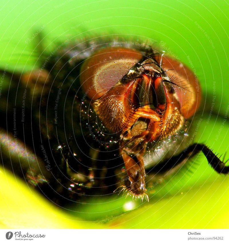 AugenBlick Tier Beine Metall braun Angst Fliege Flügel Insekt Panik Fühler frontal Schädlinge Zweiflügler Facettenauge Schmeißfliege