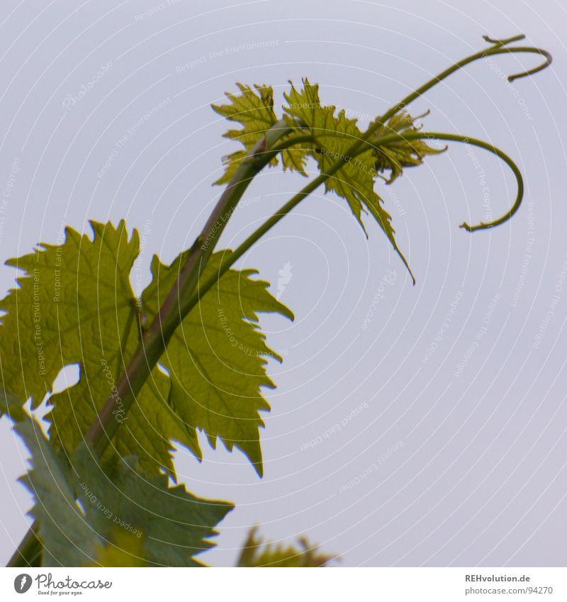 ich will in den himmel Himmel blau Pflanze Sommer Blatt Wolken Leben Garten Park Suche hoch Wachstum Wein Stengel Verkehrswege drehen