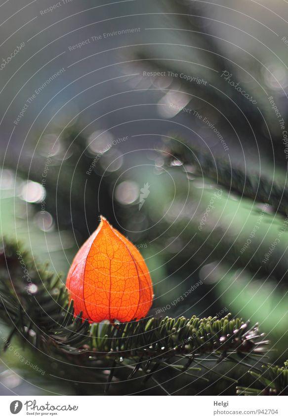 etwas andere Deko... Umwelt Natur Pflanze Schönes Wetter Baum Blume Fichte Tanne Lampionblume Zweig Garten Dekoration & Verzierung glänzend leuchten ästhetisch