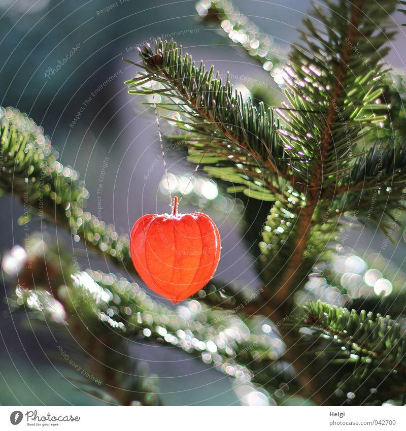 Tannenzweige mit daran hängendem Lampion einer Lampionblume im Gegenlicht mit Bokeh Umwelt Natur Pflanze Baum Blume Wildpflanze Fichte Physalis Tannennadel