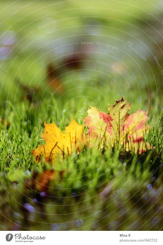 Blätter Sonnenlicht Herbst Schönes Wetter Gras Blatt Wiese mehrfarbig grün Herbstbeginn Herbstfärbung Herbstlaub Ahornblatt Farbfoto Außenaufnahme Nahaufnahme