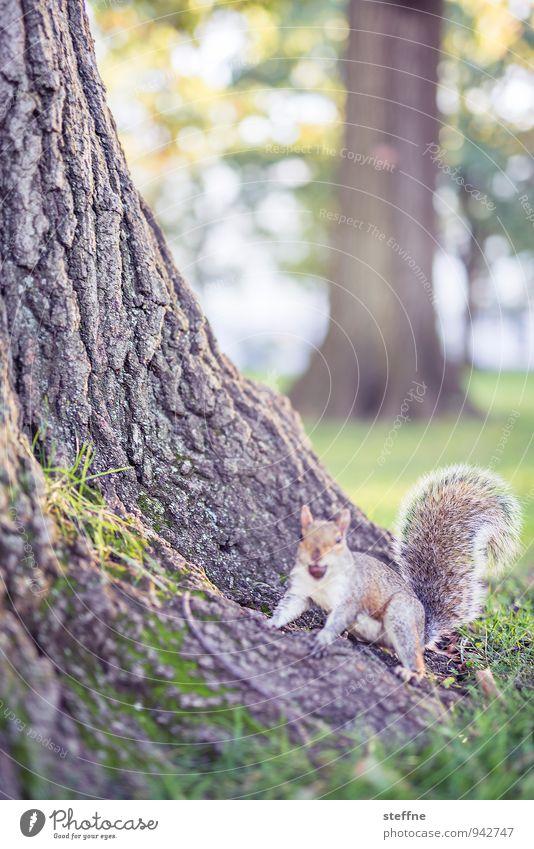 Tierisch gut: Grauhörnchen Natur Sonnenlicht Herbst Schönes Wetter Baum Park Wald Wildtier 1 Fröhlichkeit niedlich Eichhörnchen Eicheln kuschlig Baumrinde