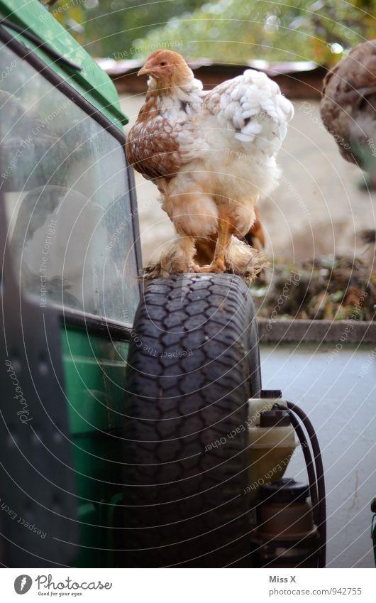 Reserve-Huhn Dorf Traktor Nutztier Vogel 1 Tier Blick Haushuhn Bauernhof Reifen Traktorrad Geflügelfarm ländlich Tierzucht Farbfoto Außenaufnahme Nahaufnahme