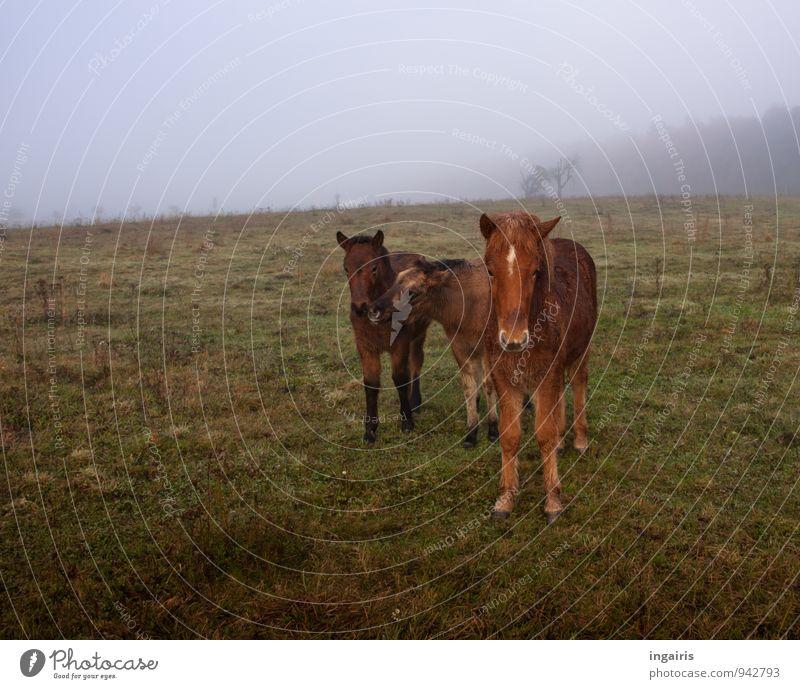 Drei im Morgennebel Natur Landschaft Himmel Horizont Herbst Nebel Baum Feld Weide Tier Nutztier Pferd Island Ponys Fohlen 3 Herde Tierjunges beobachten Blick