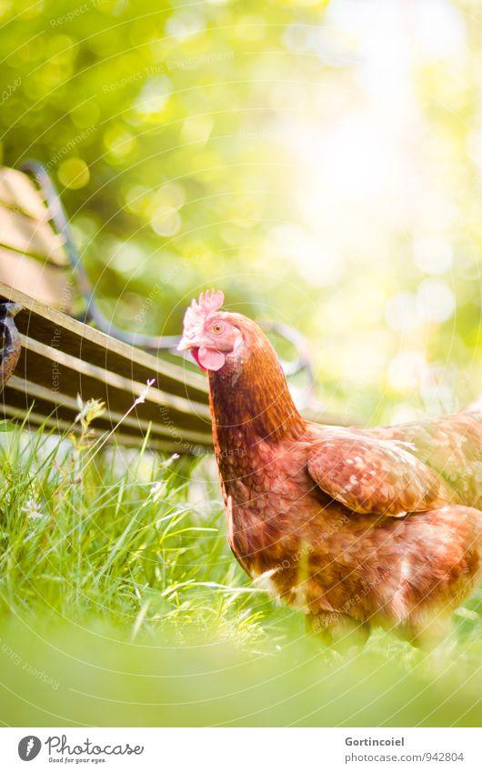 Henne Natur Sonne Sommer Gras Garten Tier Nutztier Vogel Tiergesicht Flügel 2 Gesundheit natürlich braun gelb grün Haushuhn Bauernhof umweltfreundlich