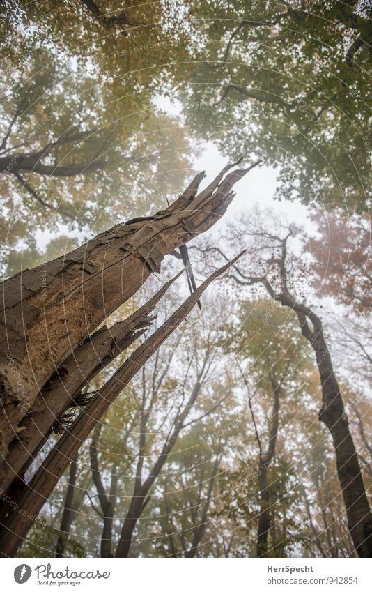 Restbaum Umwelt Natur Landschaft Pflanze Herbst Nebel Baum Wald alt kaputt natürlich braun grün gebrochen Baumstamm Baumstumpf Laubwald Buchenwald Nebelwald