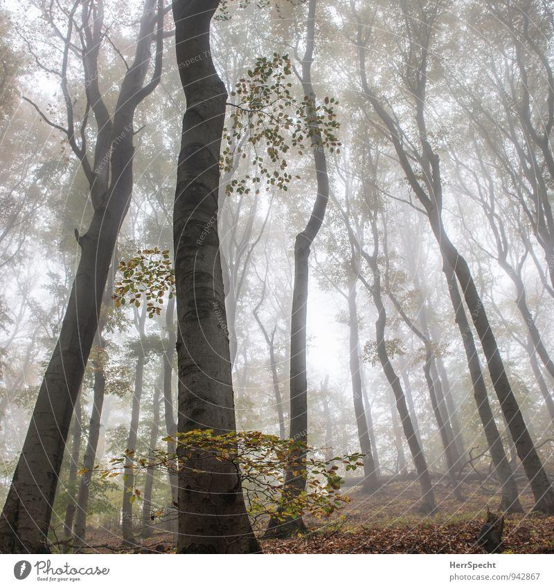 Nebelwald VI Umwelt Natur Landschaft Herbst Baum Wald ästhetisch natürlich schön Nebelstimmung Laubwald Buchenwald Wienerwald Österreich Stimmung Morgennebel
