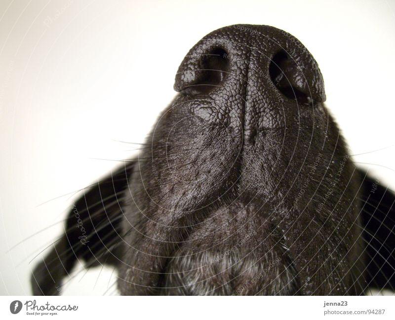 Kontur Hund ruhig bewegungslos authentisch Lebewesen Nasenloch Hundeschnauze Säugetier Ohr Detailaufnahme Momentaufnahme