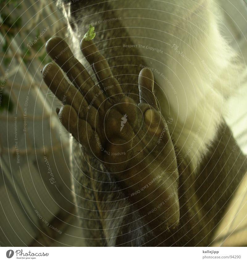verwandtschaft II Affen Äffchen Zoo Tier schlafen Käfig Gitter Trauer gefangen Umweltschutz Lebewesen Show maskulin Mann Fell hocken Menschenaffen Ehre honorig