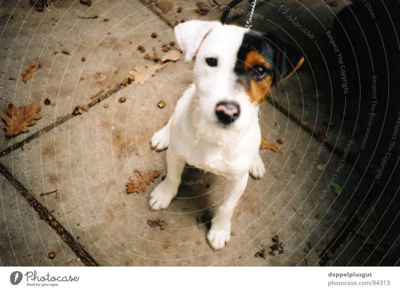 doggi weiß schön Tier Hund braun sitzen niedlich Tiergesicht Neugier Mitte Lomografie Säugetier Hundeschnauze Beagle Hundeblick allerliebst