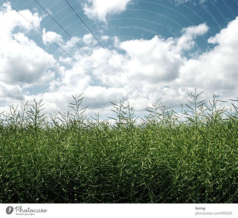 RAP im Wandel der Jahreszeiten Himmel Sommer Regen Feld Wachstum Landwirtschaft Ernte Öl Raps Hochspannungsleitung Biodiesel Reifezeit Erneuerbare Energie Schote nachwachsender Rohstoff Blühende Landschaften