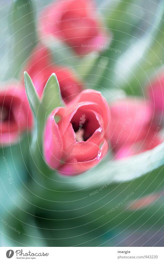 Tulpen Garten Natur Pflanze Frühling Blume Blatt Blüte Grünpflanze Tulpenblüte Vase Blühend ästhetisch frisch grün rosa rot Gefühle Glück Lebensfreude