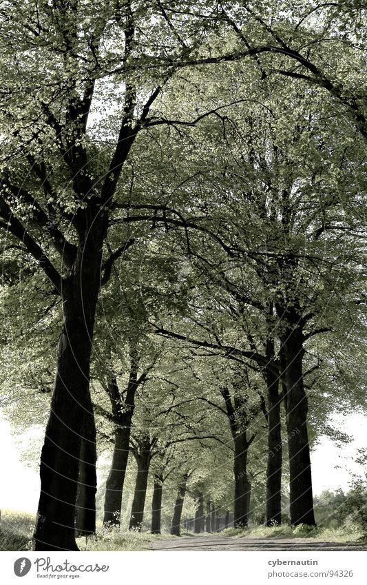 Blätterdach Frühling Allee Baum Geäst Straße Perspektive Ferne