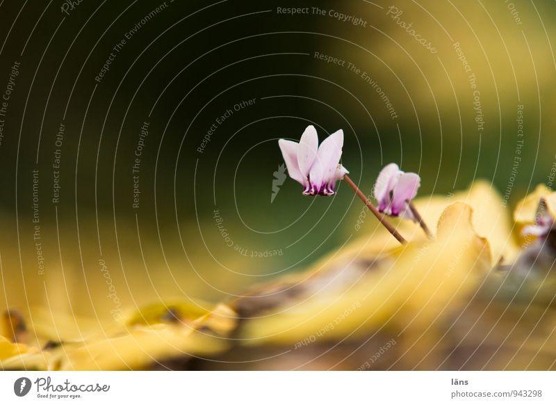 Veilchen Natur Pflanze Herbst Blume Blüte Wildpflanze Alpenveilchen Park Blühend Wachstum Neugier Entschlossenheit Veilchengewächse Zusammensein Menschenleer