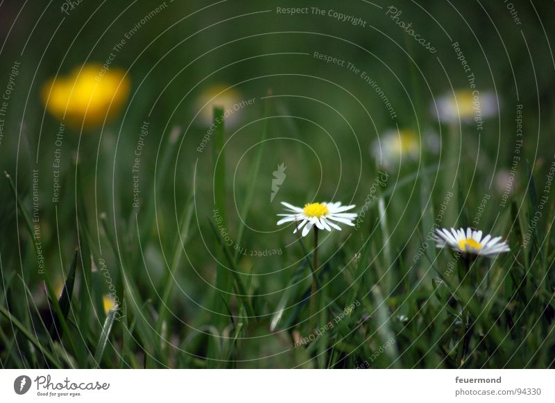 Summertime, and the livin´ is easy... Sommer Blume Blumenwiese Gänseblümchen Freude grün Blüte hell happy summertime