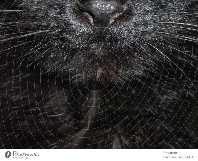 Die Katze ist ein freier Mitarbeiter Leopard Schnauze Schnurrhaar Nase Geruch Fell weich glänzend kuschlig Streicheln Säugetier Mietze Stubentieger