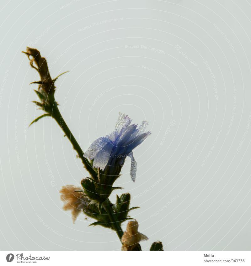 Veränderung Umwelt Natur Pflanze Wassertropfen Blume Blüte Wildpflanze Wegwarte Tropfen verblüht nass natürlich Stimmung Verfall Vergänglichkeit