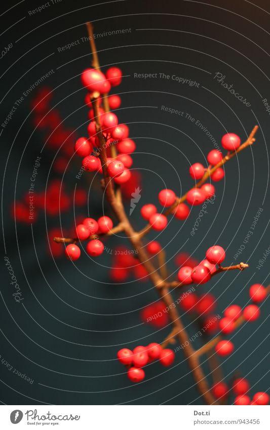 Stylezweyg Häusliches Leben Pflanze rund rot Zweig Beeren Beerenzweig Beerensträucher Dekoration & Verzierung Weihnachten & Advent herbstlich Ilex Farbfoto