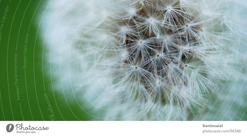 Softie Natur Pflanze Blume weich Löwenzahn Samen Farbfoto Gedeckte Farben Außenaufnahme Detailaufnahme Makroaufnahme Textfreiraum links Schwache Tiefenschärfe