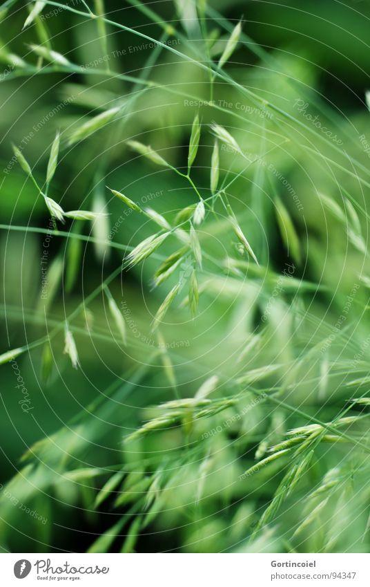 Graschaos Umwelt Natur Pflanze Frühling Sommer Garten Wiese Linie grün chaotisch Samen Rasen kreuzen überlagert wild Brennpunkt Graswiese Grasspitze Blattknospe