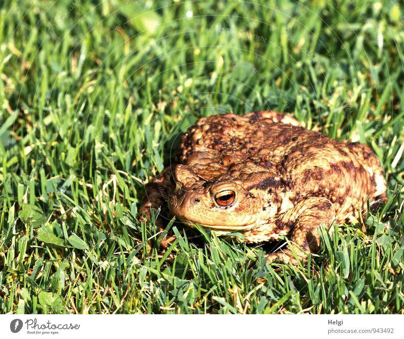 Besuch im Garten... Umwelt Natur Landschaft Pflanze Tier Sommer Schönes Wetter Gras Grünpflanze Wildtier Frosch Kröte Erdkröte 1 Blick sitzen warten authentisch
