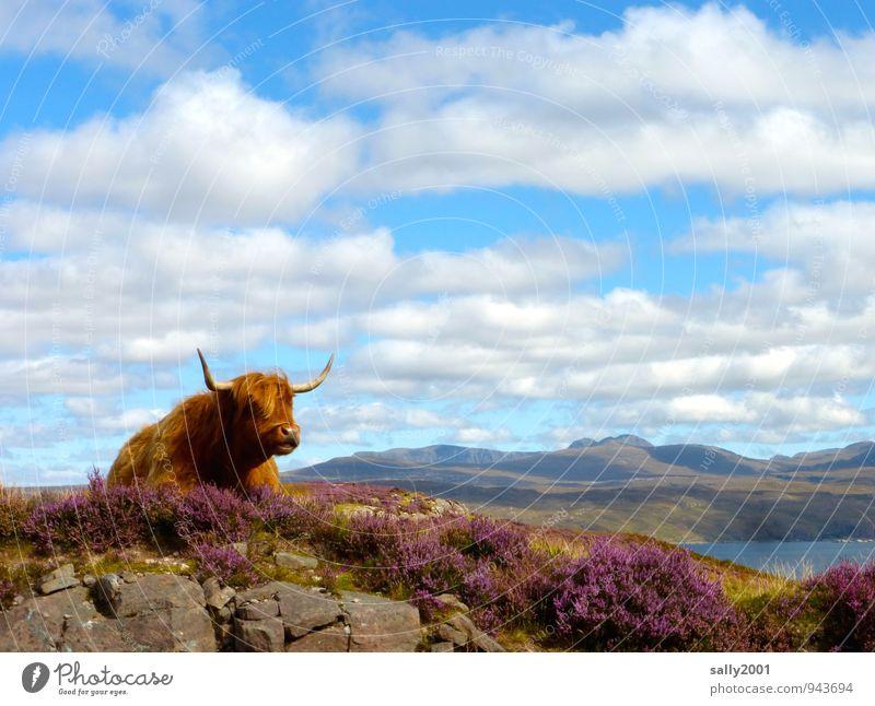 Plätzchen mit Aussicht... Natur Landschaft Himmel Sommer Schönes Wetter Heidekrautgewächse Bergheide Wiese Hügel Felsen Berge u. Gebirge See Tier Nutztier Kuh
