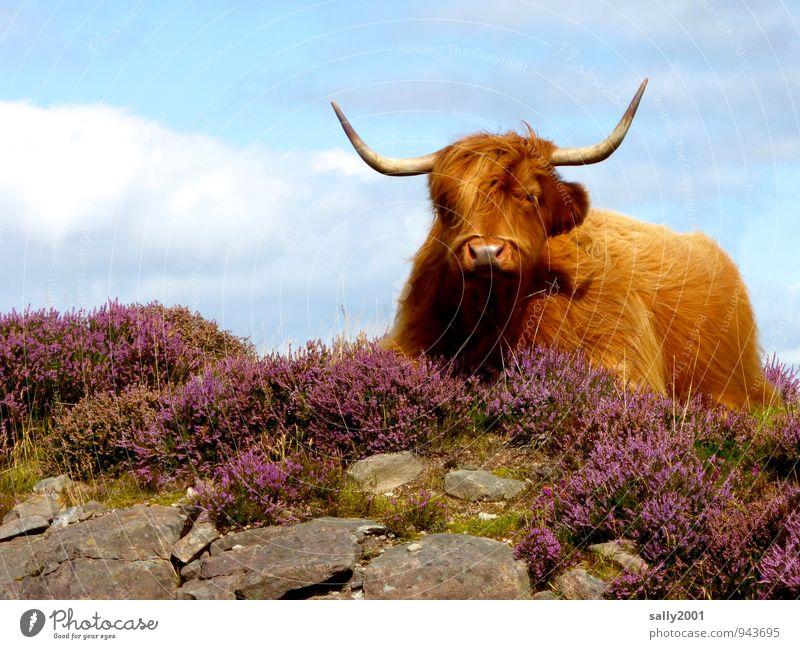 Siesta in den Highlands... Sommer Erholung Einsamkeit ruhig Tier Freiheit braun Felsen liegen träumen Kraft Zufriedenheit warten beobachten Schönes Wetter