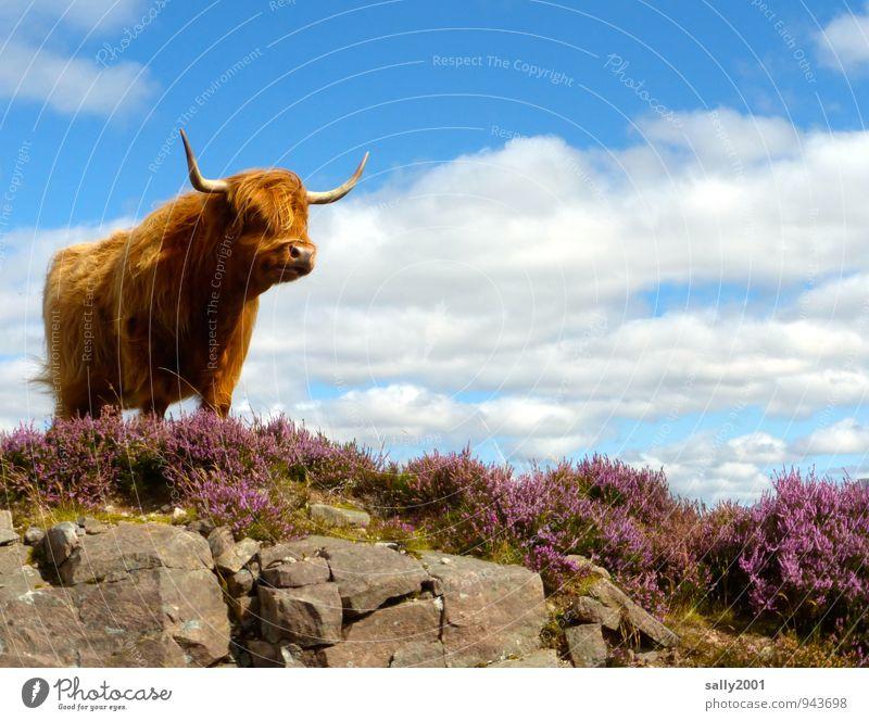 Alles im Blick... Tier Haare & Frisuren oben braun Felsen wild Kraft Wind stehen warten ästhetisch beobachten bedrohlich Schönes Wetter Freundlichkeit Neugier