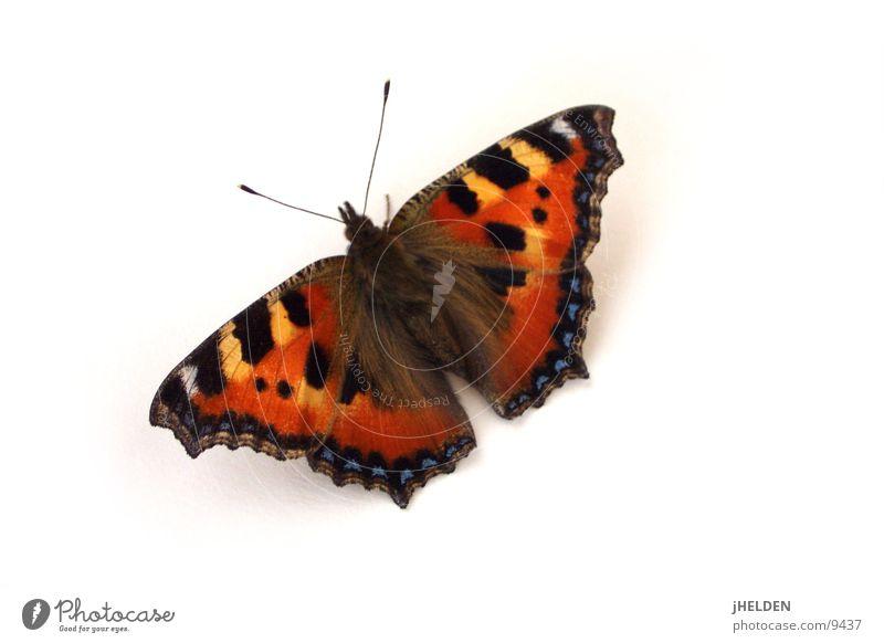 Butterfly weiß schön rot Tier schwarz Gefühle Freisteller träumen Zufriedenheit fliegen natürlich ästhetisch Flügel einzigartig Romantik Idylle