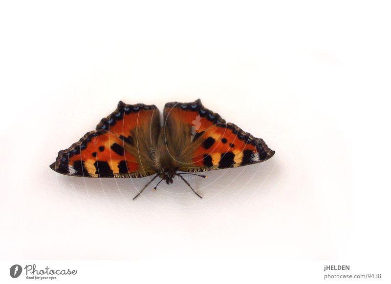 Butterfly weiß rot Tier schwarz Insekt Schmetterling Freisteller frontal Emotiondesign Tagpfauenauge
