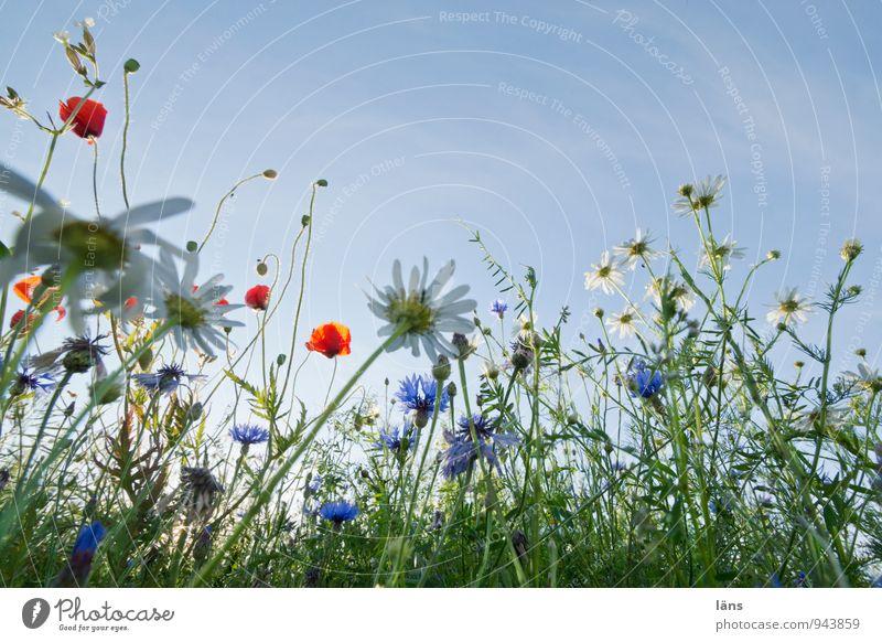 himmelwärts Himmel Natur Pflanze Sommer Blume Landschaft Umwelt Feld Wachstum Beginn Schönes Wetter Blühend Wandel & Veränderung Hoffnung Mohn Zerstörung