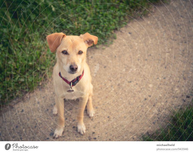 treuer Freund Tier Haustier Hund 1 Denken sitzen warten niedlich braun gelb gold grün Schutz Freundschaft Tierliebe Treue Freiheit Freizeit & Hobby Hoffnung