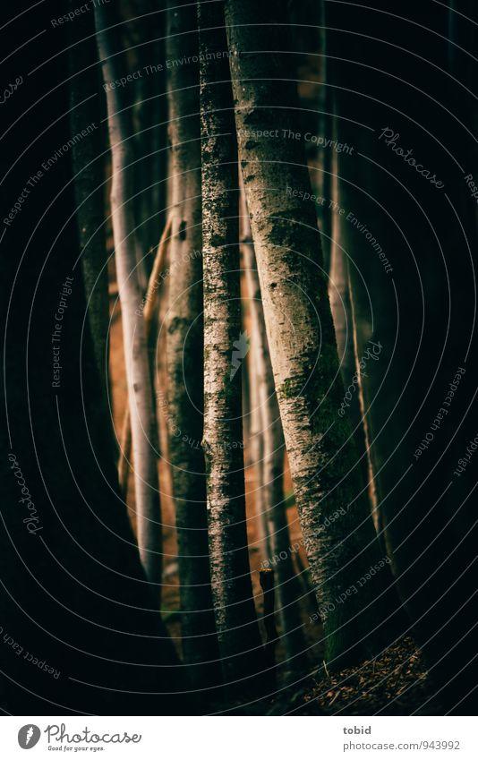 Mystisch Natur Pflanze Baum Landschaft schwarz dunkel Wald kalt gelb Wärme grau braun elegant bedrohlich Baumstamm dünn