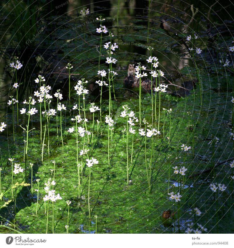 Sumpf Natur Wasser Pflanze Blume Blüte Teich Umweltschutz Moor