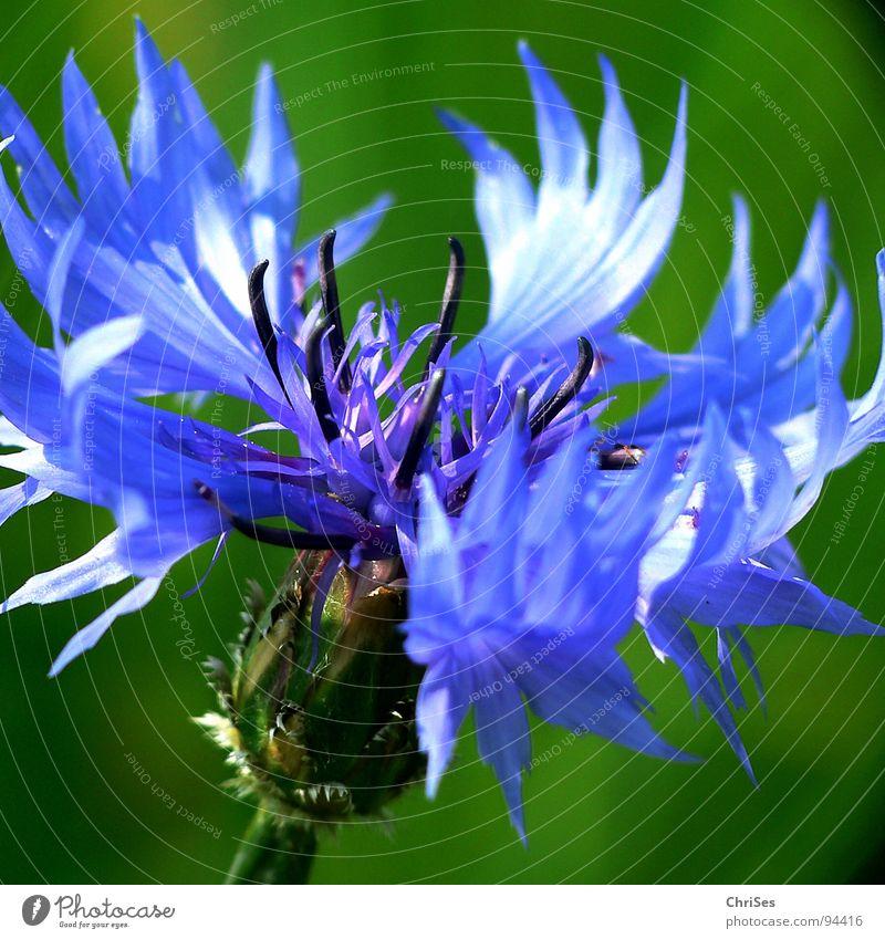 KornBlumenBlau Kornblume grün Blüte Staubfäden Feld Ackerbau Wiese Frühling Sommer Makroaufnahme Nahaufnahme blau Kornblumenblau Getreide Sonne ChriSes