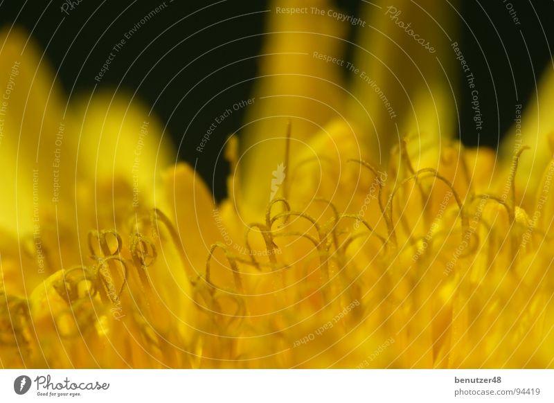 Löwenzahn-Makro 1 Blume Sommer gelb Wiese Blüte nah Biene Löwenzahn Blütenblatt
