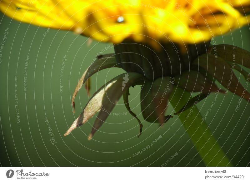 Löwenzahn-Makro 2 Blume grün Sommer gelb Wiese Blüte nah Stengel Biene Makroaufnahme Blütenblatt
