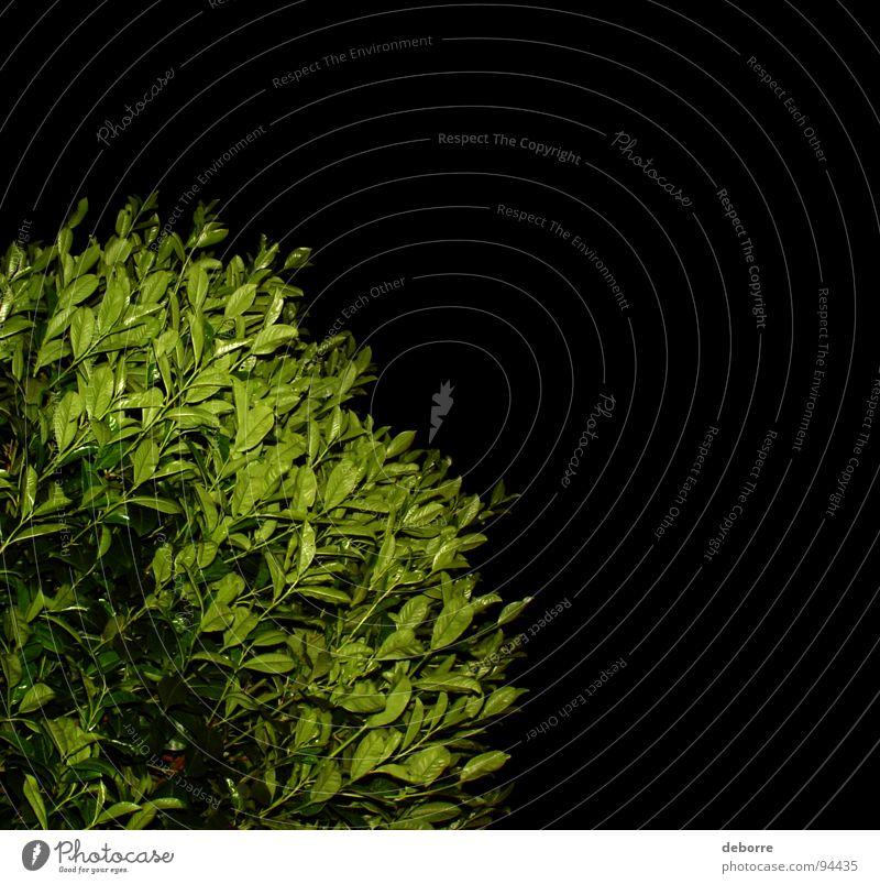 Nachtschatten Gestrüpp Natur grün Pflanze schwarz dunkel Garten Park Wachstum Sträucher gestellt